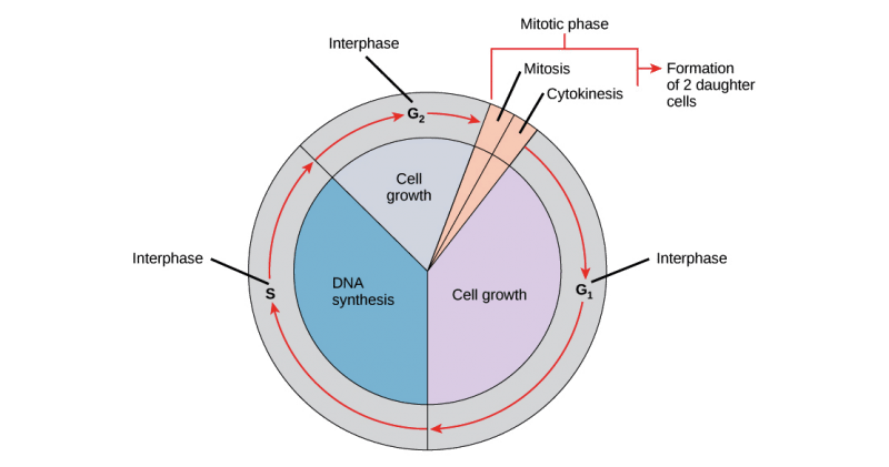 what kind of cells do not undergo of mitosis pdf